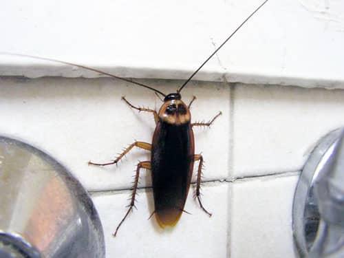 откуда берутся тараканы в Ногинске